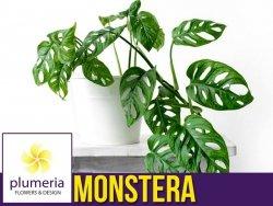 Monstera MONKEY MASK (Monstera adansonii) Roślina domowa. Sadzonka P5,5 - S