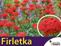 Firletka Chalcedońska Czerwona (Lychnis chalcedonica) Nasiona 0,5g