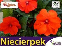 Niezwykły Niecierpek- Impatiens SunPatiens Vigorous Orange - sadzonka