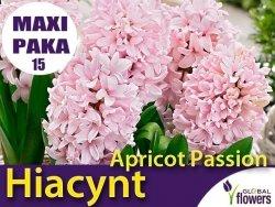 MAXI PAKA 15 szt Hiacynt Wschodni 'Apricot Passion' (Hyacinthus) CEBULKI 15 szt