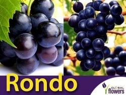Winorośl Rondo Sadzonka - odmiana przerobowa Vitis 'Rondo'