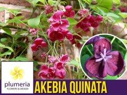 Akebia Czekoladowe Pnącze (Akebia quinata) Sadzonka C1