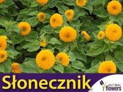 Słonecznik ozdobny niski, pełny 'Teddy Bear' (helianthus annuus) 2g nasiona