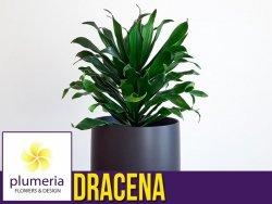 DRACENA COMPACTA (Dracaena fragrans) Roślina domowa. Sadzonka P5- S