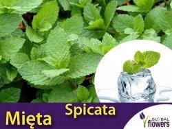 Mięta SPANISH Najbardziej Orzeźwiająca (Mentha spicata) Sadzonka C1