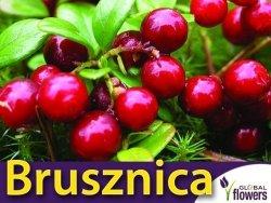 Borówka Brusznica  RUNO BIELAWSKIE (Vaccinium vitis-idaea) doniczkowana Sadzonka C1
