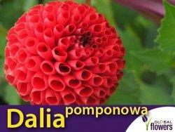 Dalia pomponowa Bella (Dahlia x cultourum) kłącza 1 szt.
