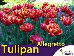 Tulipan pełny późny 'Allegretto' (Tulipa) CEBULKI 5 szt.