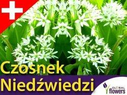 Czosnek Niedźwiedzi SAMO ZDROWIE (Allium ursinum) CEBULKI 3 szt