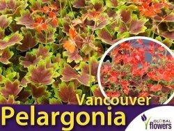 Pelargonia rabatowa 'Pelargonia rabatowa 'Vancouver' ' (Pelargonium zonale) Sadzonka