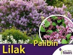 Lilak Majera PALIBIN (Syringa meyeri) Sadzonka C2