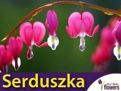Serduszka okazała różowe (Dicentra spectabilis) CEBULKA 1szt.