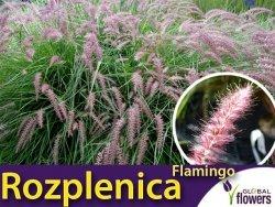 Rozplenica wchodnia FLAMINGO (Pennisetum orientale) Sadzonka C1,5