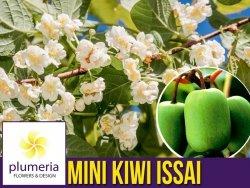 Mini Kiwi ISSAI ⚥ (Aktinidia ostrolistna) Sadzonka C2