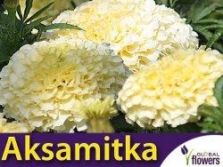 Aksamitka wielkokwiatowa Kilimajaro (Tagetes erecta) 0,3g