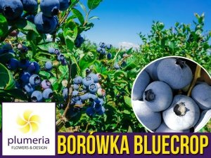 Borówka Amerykańska BLUECROP Sadzonka 3 letnia 30-60cm