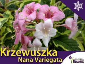 Krzewuszka 'Nana Variegata' (Weigela florida) Sadzonka