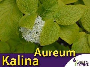 Kalina 'Aureum' (Viburnum Lantana) sadzonka