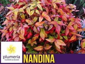 Nandina domestica FIRE POWER Niebiański Bambus XL-C6