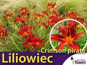 Liliowiec 'Crimson Pirate' (Hemerocallis ) Sadzonka