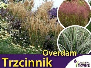 Trzcinnik 'Overdam' (Calamagrostis x acultiflora) Sadzonka