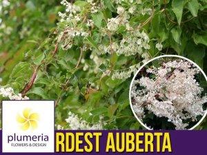Rdest Auberta Pnącze (Fallopia aubertii ) Sadzonka C1/C2