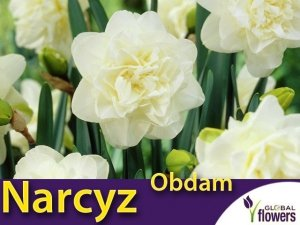 Narcyz pełny 'Obdam' (Narcissus) CEBULKI 4 szt.