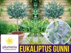 Eukaliptus Niebieski na pniu kula (Eukaliptus Gunni) 3 letnia Sadzonka C2