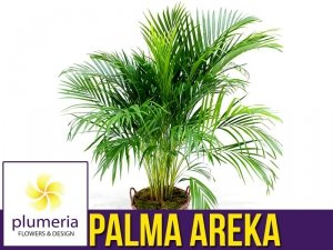 Palma AREKA (Dypsis Lutescens) Roślina domowa. Sadzonka P21 - XL