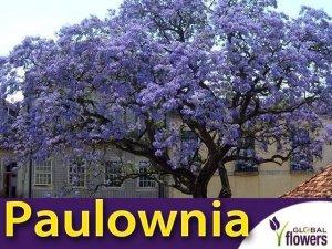 Paulownia Puszysta - Cesarskie Drzewko Szczęscia (Paulownia Tomentosa) Sadzonka
