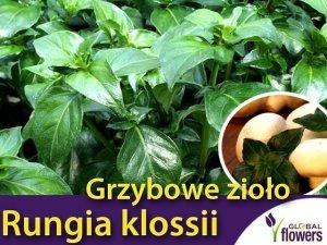 Grzybowe zioło (Rungia klossii) Sadzonka