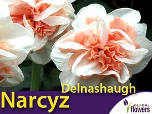 Narcyz pełny 'Delnashaugh' (Narcissus) CEBULKI 4 szt.