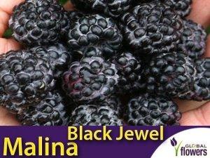 Malina właściwa Czarna (Rubus idaeus) 'Black Jewel' Sadzonka