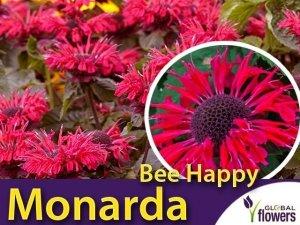 Pysznogłówka 'Bee Happy' (Monarda) Sadzonka
