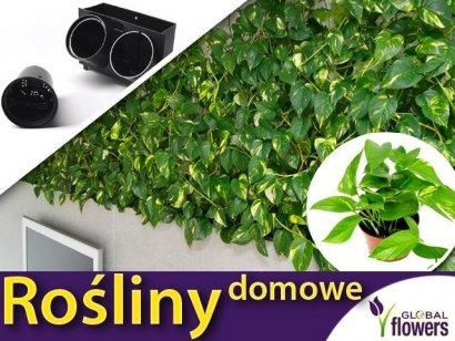 Rośliny do ogrodu wertykalnego. Epipremnum AUREUM sadzonka