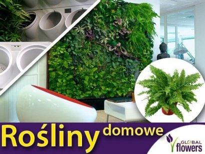 Rośliny do ogrodu wertykalnego. Paproć BOSTON (Nephrolepis) zestaw sadzonek