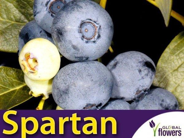 Borówka Amerykańska Sadzonka 3 - 4 letnia- odmiana Spartan