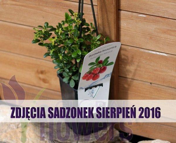 Borówka Brusznica 'Runo Bielawskie' uprawa