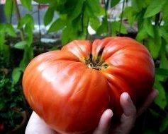 Pomidor Malinowy Olbrzym - Wielkie Owoce (Lycopersicon Esculentum) 1g