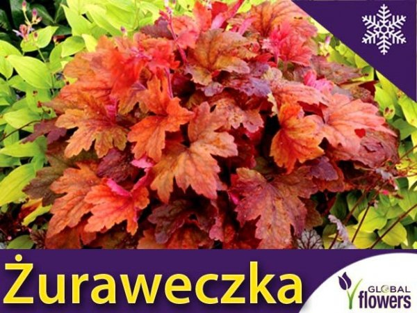 Żuraweczka 'Sweet Tea' (Heucherella) Sadzonka