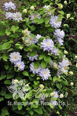 Clematis Powojnik o pełnych kwiatach