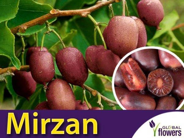 SCARLET SEPTEMBER KIWI ® 'Mirzan' (Actinidia arguta) Sadzonka