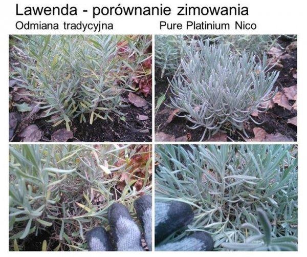 Lavandula Pure Platinum 'Nico' uprawa w doniczce