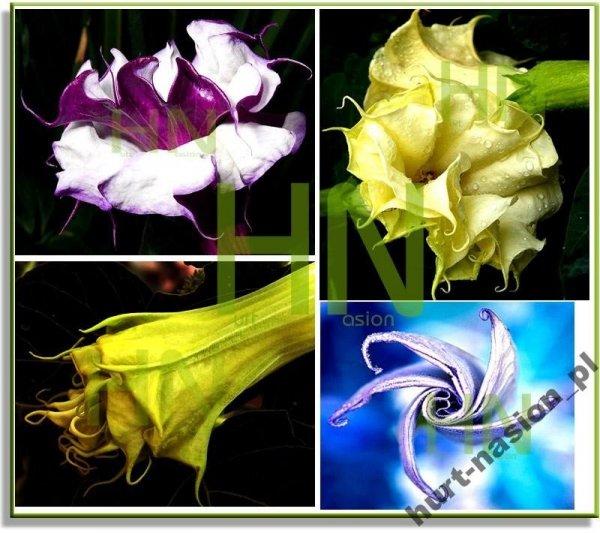 Ozdobne trąbkowate kwiaty bielunia