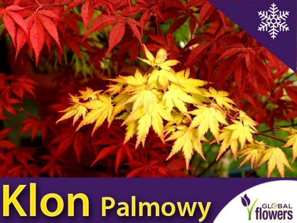 Klon Palmowy 'Orange Dream' (Acer palmatum)