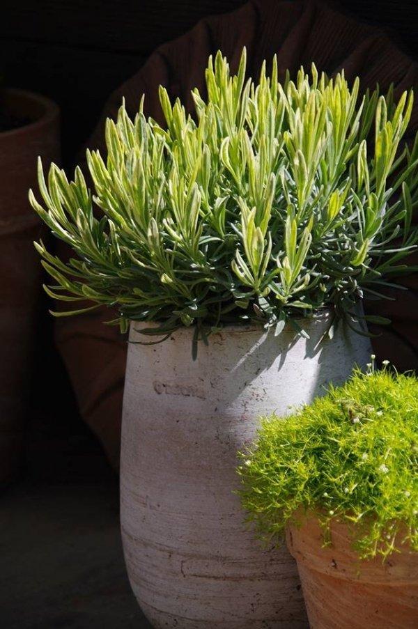 Lawenda sadzonki czy nasiona