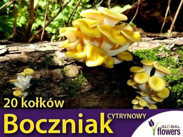 Boczniak cytrynowy grzybnia na kołkach 20 kołków