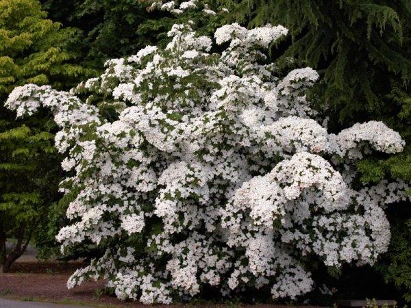 Dereń o białych kwiatach