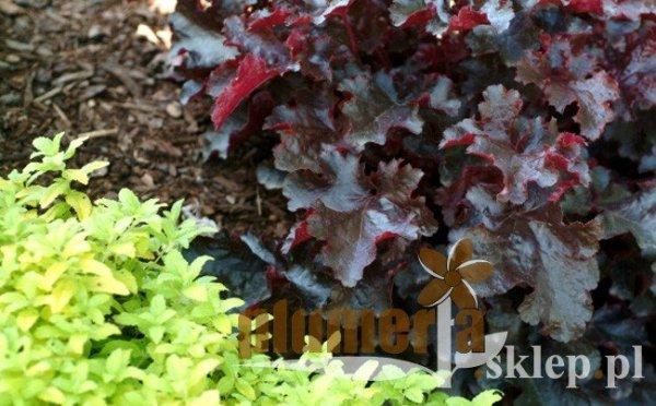 Uprawa żurawki drobnokwiatowej