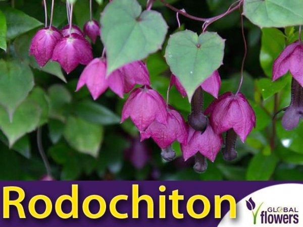 Rodochiton fioletowy pnącze na altany